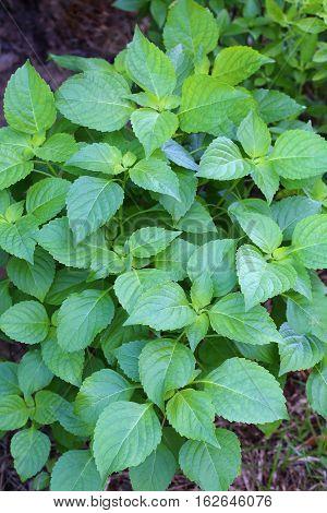 Tree Basil Caraway plant in garden(Shrubby basil Ocimum gratissimum)