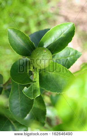 Close up of young green Tahiti lime citrus fruit on tree.
