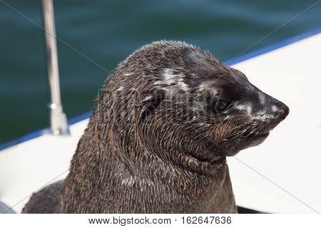One Of Huge Herd Of Fur Seal Swimming Near The Shore Of Skeletons In The Atlantic Ocean,