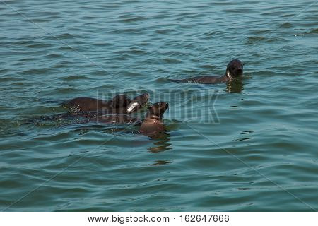 Family Of Huge Herd Of Fur Seal Swimming Near The Shore Of Skeletons In The Atlantic Ocean,