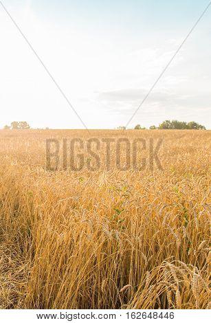 Wheat golden field. Wheat field against the blue sky