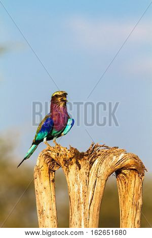 Roller on the tree. SweetWaters park. Kenya, Africa