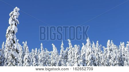 Snow covered pine trees near Lake Tahoe CA with blue sky.