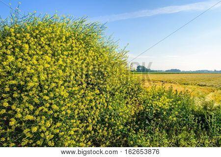Closeup of yellow blossoming black mustard or Brassica nigra plants growing in the wild on a pile of earth at the edge of a farmer's field in the Netherlands. It is in the middle of the summer period.