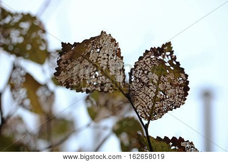 Rotten leaves at top of the tree
