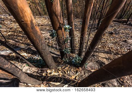 Eucalyptus forest sprouting after overcoming a fire