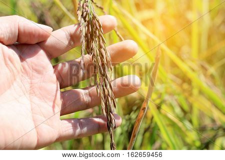 Old Hand Tenderly Touching A Young Rice In The Paddy Field In Sunset Time