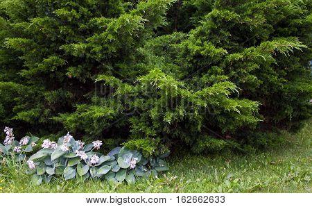 Coniferous Bush
