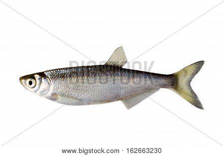 Small Fish Bleak