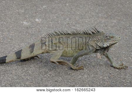 Close Up Of An Iguana 0(iguana Iguana)