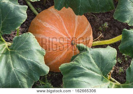 orange pumpkins growing in the garden .