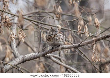 Fieldfare (Turdus pilaris) is sitting on a branch