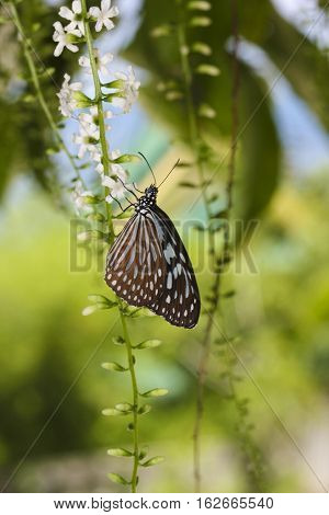 Blue glassy tiger Ideopsis similis butterfly on the flower