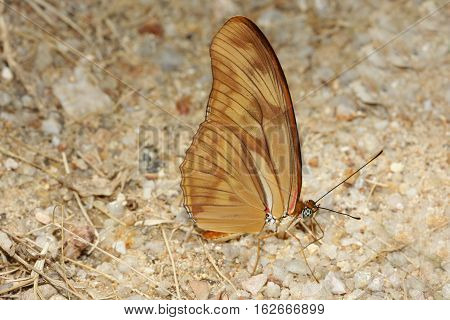 Julia butterfly Julia heliconian the flame a species of brush-footed butterfly
