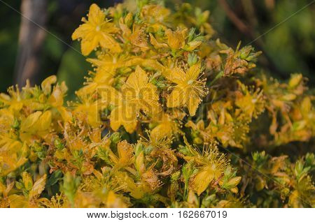 Hypericum  Close Up