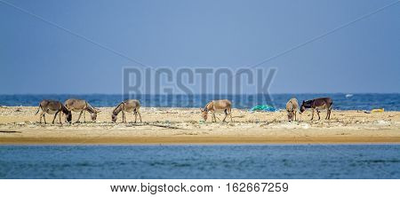 Mannar donkey in Kalpitiya lagoon, Sri Lanka ; specie Equus asinus family of equidae