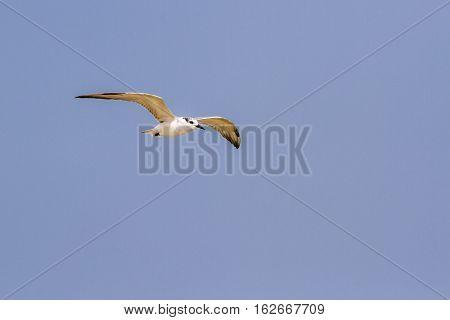 Little tern in Kalpitiya lagoon, Sri Lanka ; specie Sterna albifrons family of Laridae