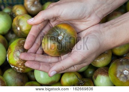 Diseases Of Tomato. Tomato Stricken Phytophthora (Phytophthora Infestans) On Female Hands In Close Up. Fighting Phytophthora.