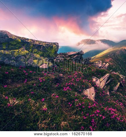 beautiful summer Carpathians landscape with blossom rhododendron flowers, Sunrise mountains,  Europe tourism, beauty world