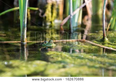 Bullfrog Hiding Among The Reeds In A Slimy Swamp