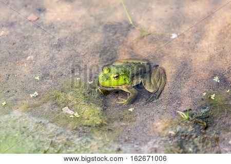 Bullfrog Hiding In The Water In A Slimy Swamp