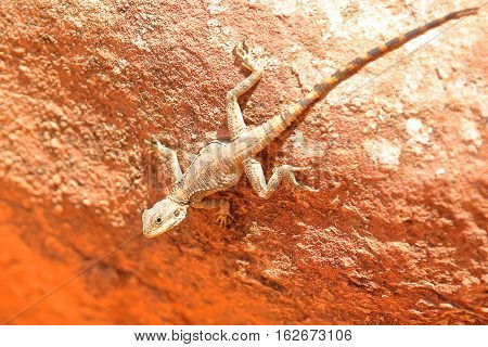 PETRA, JORDAN: An Agama lizard with beautiful colors