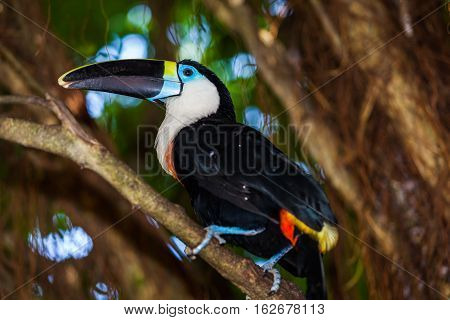 The furrowed yellow toucan (Ramphastos culminatus) is a species of bird of the genus Ramphastos poster