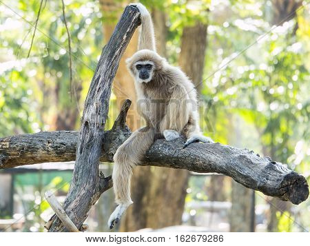 White-handed gibbon (Hylobates lar) sit on tree branch with bokeh background