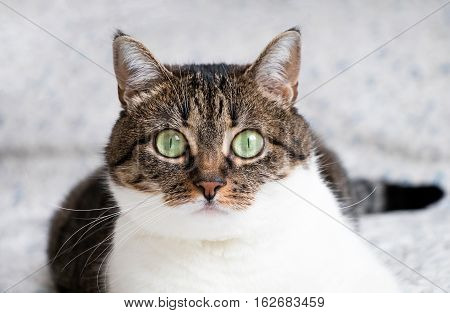 Beautiful Portrait Of A Tabby Cat Lying On The Bed And Staring Into The Camera. Funny Colored Cat Wi