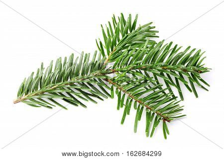 Fresh fir branch isolated on white background.