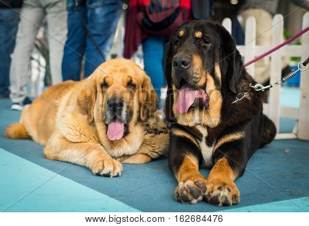 two Beautiful big spanish mastiff dog resting