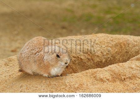 Prairie Dog Near Its Burrow, Close-up