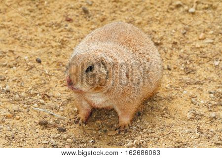 Prairie Dog On A Background Of Sand