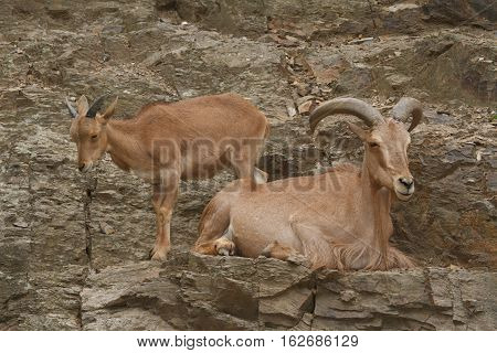 Male And Female Wild West Caucasian Tur Close Up On A Background Of Rocks.