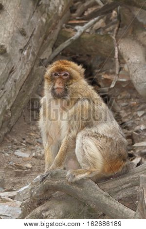 Handsome Male Wild Barbary Macaque Monkey Close-up