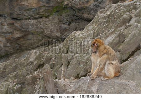 Wild Barbary Macaque Monkey In The Mountains