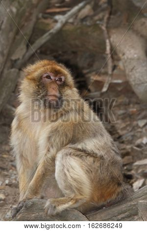 Wild Male Barbary Macaque Monkey Close-up