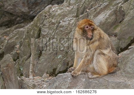 Barbary Macaque (macaca Sylvanus) On The Background Of Rocks.