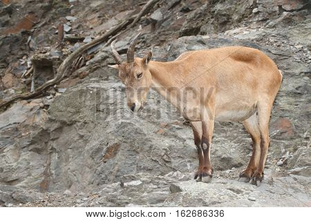 Pregnant Female Wild Caucasian Tur On Rock Background