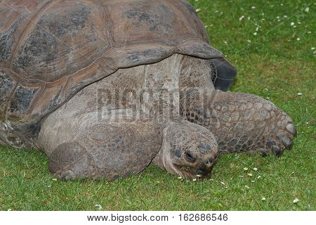A Large Galapagos Tortoise Eating Grass. Close-up