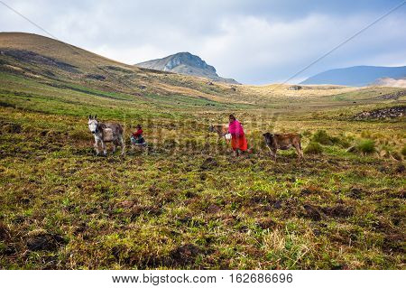 Ozogoche Ecuador December 19 2015: Farmers from the community of Ozogoche growing the field in the highlands of Ecuador
