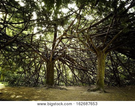 Two Strange Trees With Interlaced Branchs