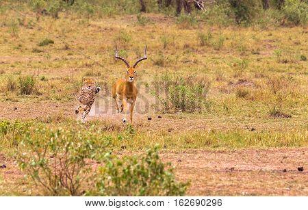 Cheetah. Very fast hunter. Masai Mara, Kenya