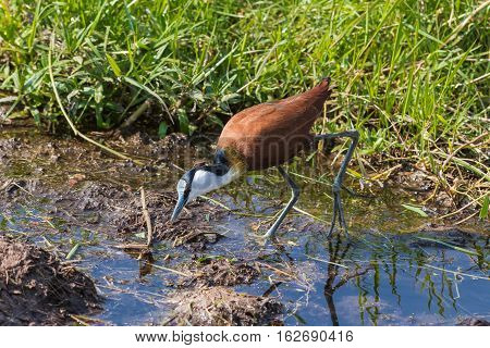 African Jacana on swamp of Amboseli.  Kenya, Africa.