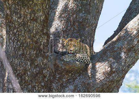 African predators. Leopard on the tree.  Serengeti.Tanzania