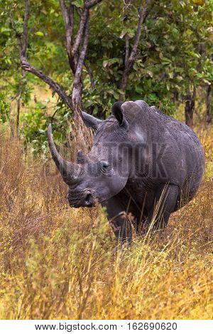 Very large rhino from Meru park. Kenya, Africa