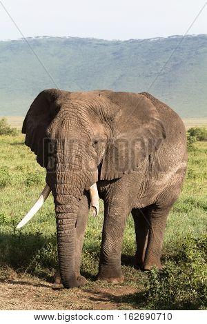 Old elephant. Very big animal. NgoroNgoro crater, Tanzania