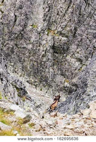 Chamois in High Tatras mountains at Slovakia