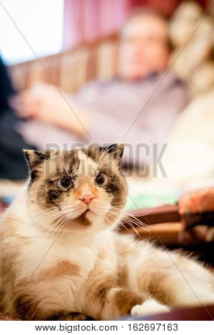 lop-eared breed cat on a background of the men in Indoor