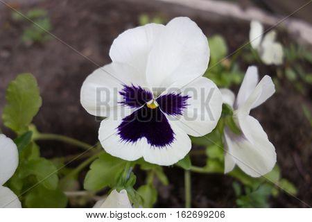 A white horned violet floewer. Viola cornuta.